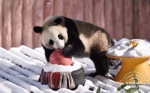 东北虎园里东北虎、大熊猫、驼羊...的快乐冬天