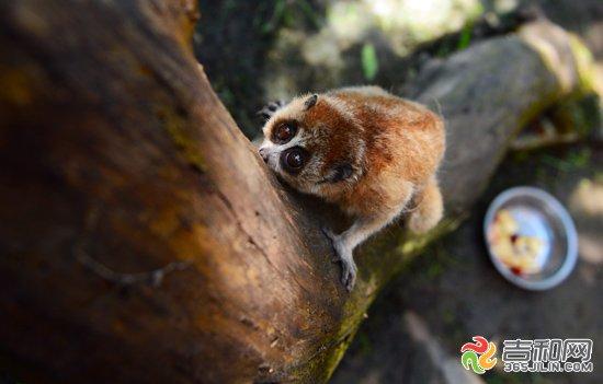 市民拾到珍贵动物蜂猴 长春动植物园将其收养(2)