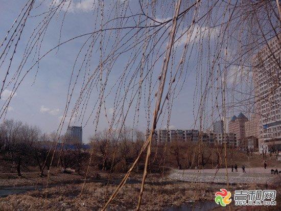 长春天气持续回暖 公园里柳树发芽(图)