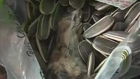 看电影嗑徽师傅香瓜子 没吃两粒嗑出死老鼠