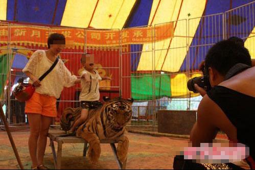 马戏团老虎的图片